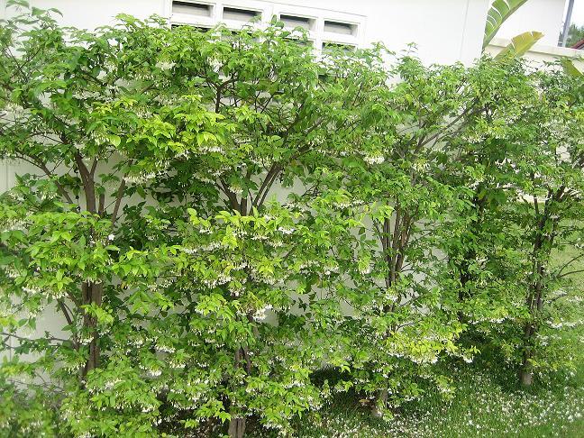 ต้นไม้แต่งรั้วบ้าน ยอดนิยม